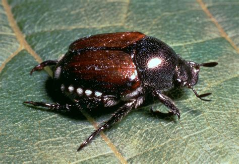 Japanese beetle   insect   Britannica