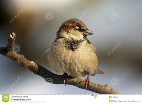 Sparrow Bird On The Twig Stock Image Image Of Little