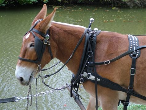 mule vs horses amish horse mules country female breeding hybrids human donkey brown ohio dutchman crossing ago years then breed