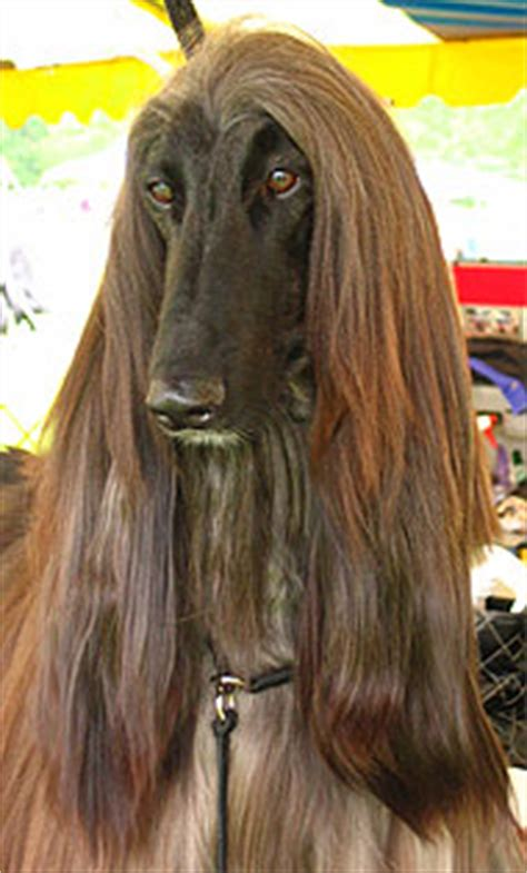 afghan hound dog hound dog breeds    dog