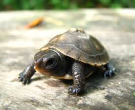 Cute Baby Box Turtles
