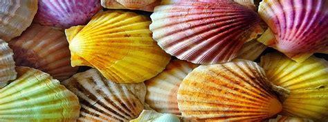 Seashells, Shell, Scallop, Seashells Clipart Png Image And