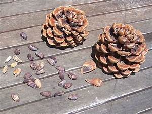 Pom De Pin Sallanches : file pomme de pin wikimedia commons ~ Premium-room.com Idées de Décoration
