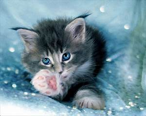Blue Eyed Kitten - Cats & Animals Background Wallpapers on ...
