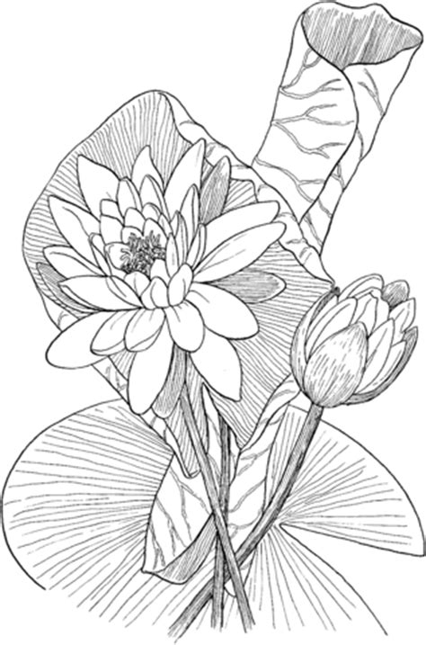 nymphaea odorata  fragrant water lily coloring page supercoloringcom