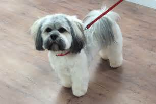 lhasa apso grooming pictures dog breeds picture