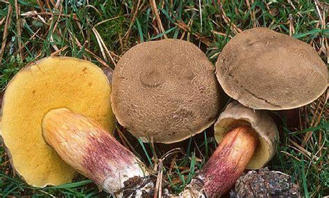 cuisiner cepe bolets et cepes champignons