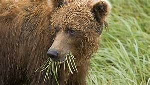 How Fat Grizzly Bears Stay Diabetes