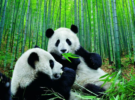 imagenes osos panda hermosa fotografia de osos panda