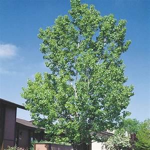 Spring Hill Nurseries Green Foliage Hybrid Poplar Tree