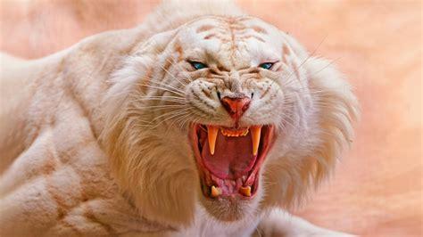 wallpaper white tiger roaring  animals