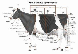 Parts Of A Dairy Cow