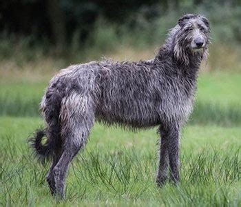 scottish deerhound padfoot  harry potter