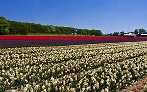 Wallpapers, Netherlands, Flower, Fields