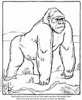 Coloring Gorilla Zoo Animal Printable Animals Colouring Realistic Drawing Sheet Wild Drawings Printing sketch template
