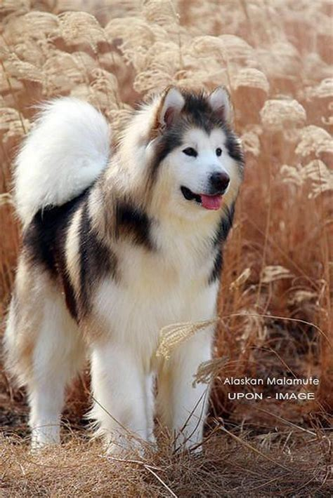 do malamutes shed the alaskan malamute in the sun it looks like it s mixed