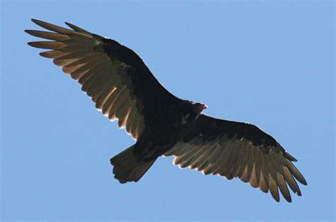 cathartes aura the turkey vulture