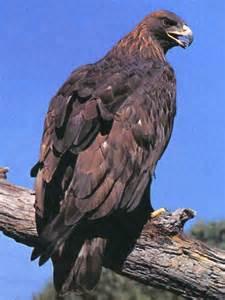 Golden Eagle Bird