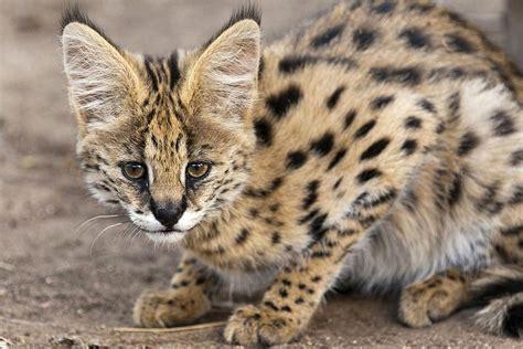 Serval Cat Breed Profile