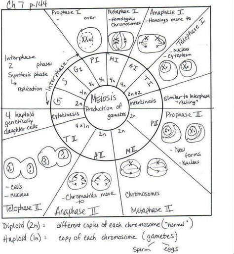 The Cell Cycle Coloring Worksheet Homeschooldressagecom