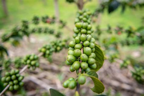 There are about 400,000 families who farm coffee in rwanda, and most of them live in small mud and brick houses, or a concrete house, when they are better off. Rwanda's coffee harvest will go forward despite pandemic ...