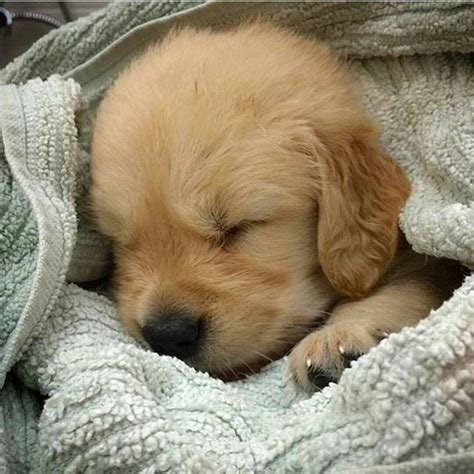 Sweet Little Baby Golden Golden Retrievers Dogs Cute