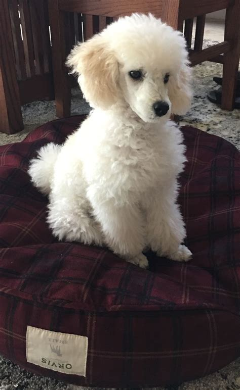 beautiful poodles images  pinterest poodle