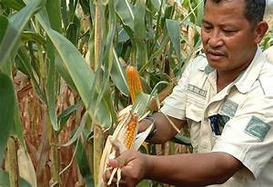 Climate Resilient Maize for Asia » CIMMYT. International ...