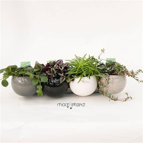 plante aimantee