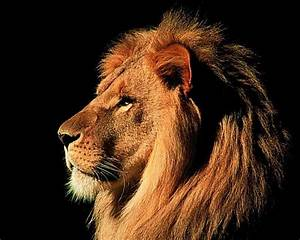 great wallpapers of lion animals