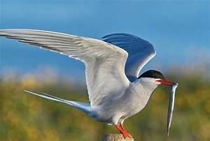 Arctic Tern Bird Facts With Photographs | The Wildlife