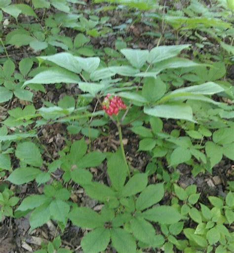Finger Lakes Ginseng - Gallery