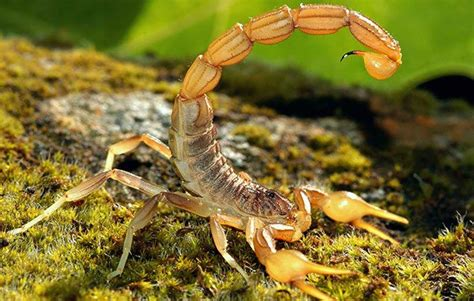 Scorpion Animal Wallpaper - scorpion facts for national geographic