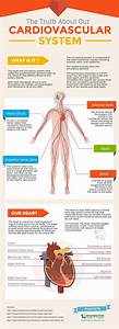 The Ultimate Guide To The Human Cardiovascular System