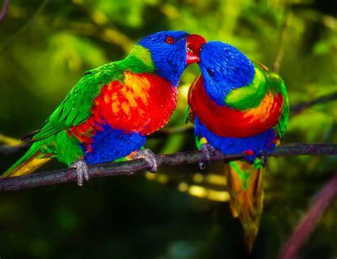 bird colors free photo parrots pair bird colors free image on