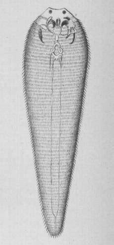 Pentastomida - Wikispecies