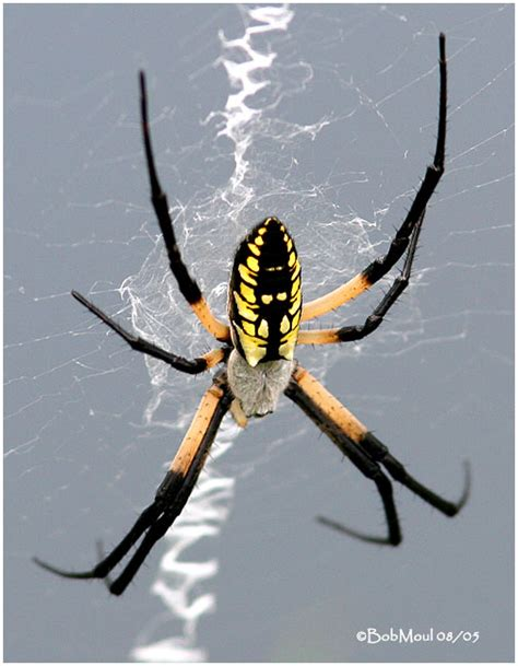 Are Black And Yellow Garden Spiders Poisonous by Scary Tack Up Page 5 The Forum