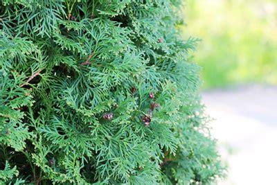koniferen werden braun koniferen werden braun so wird lebensbaum thuja co wieder gr 252 n gartendialog de
