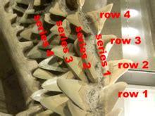 Florida Shark Teeth Identification