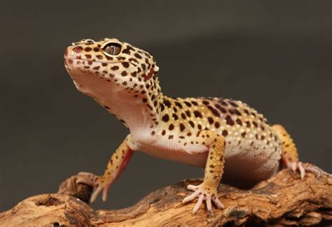 introduction  keeping leopard geckos petshomes