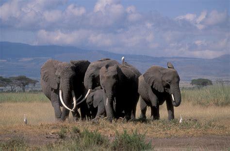 majestic   elephants incredible snaps