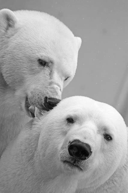 polar bear teddy  photo  pixabay