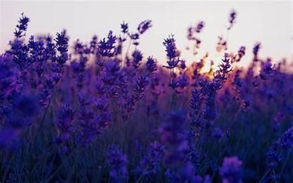 Lavender Background Purple Flowers Flower Nature Landscape