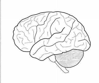 Brain Coloring Human Anatomy Pages Printable Getcolorings