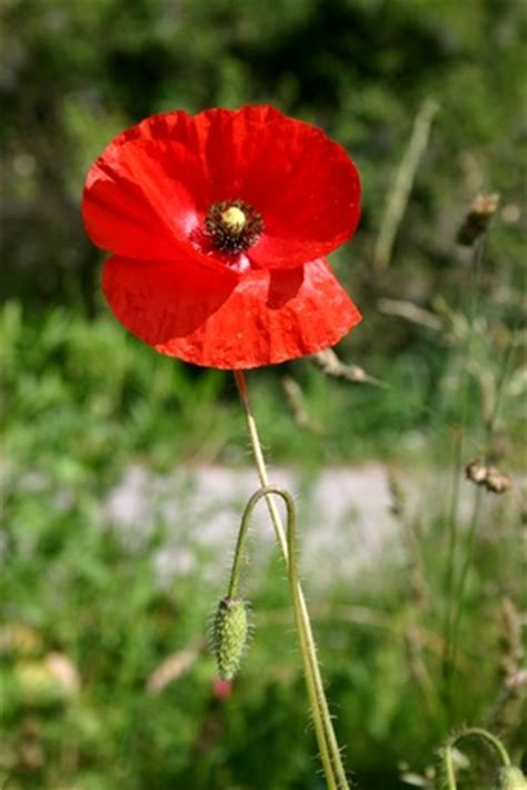 when did poppies become symbol of remembrance why did the poppy flower become a symbol of veterans day ehow uk