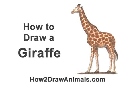 draw  giraffe color video step  step pictures