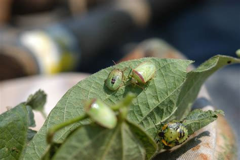 Bugs In by Stink Bugs And Redbanded Stink Bugs In Soybeans What To