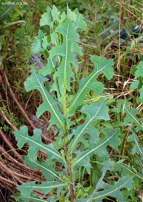 prickly weeds lactuca serriola prickly lettuce edible weeds and bush tucker plant foods
