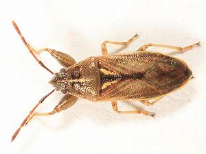 True Bug With Large Front Legs - Oedancala Dorsalis