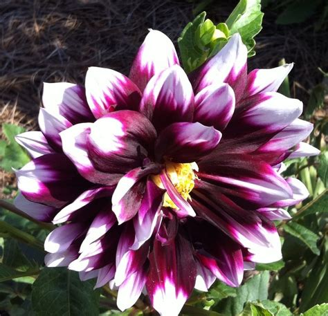 flowers to plant in late summer dahlias for late summer cut flowers johntheplantman s stories musings and gardening